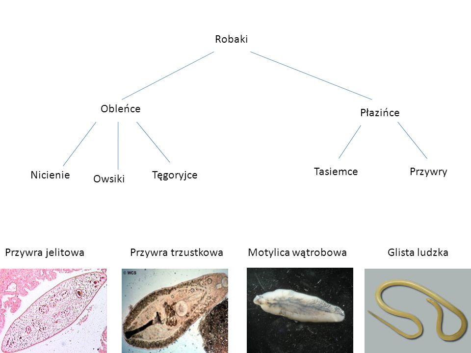 Cykl życiowy przywry Etap rozwojuNormalny tryb życia 1.Jajeczko Wydalane z odchodami do gleby.