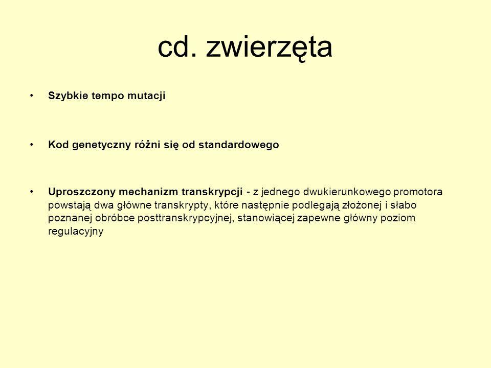 cd. zwierzęta Szybkie tempo mutacji Kod genetyczny różni się od standardowego Uproszczony mechanizm transkrypcji - z jednego dwukierunkowego promotora