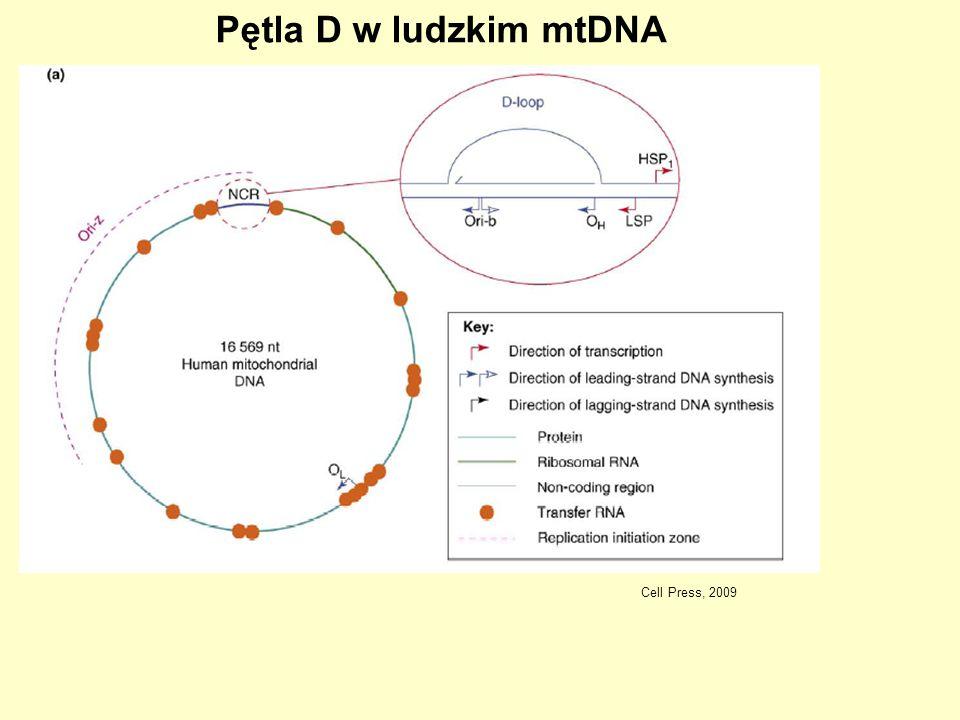 Cell Press, 2009 Pętla D w ludzkim mtDNA