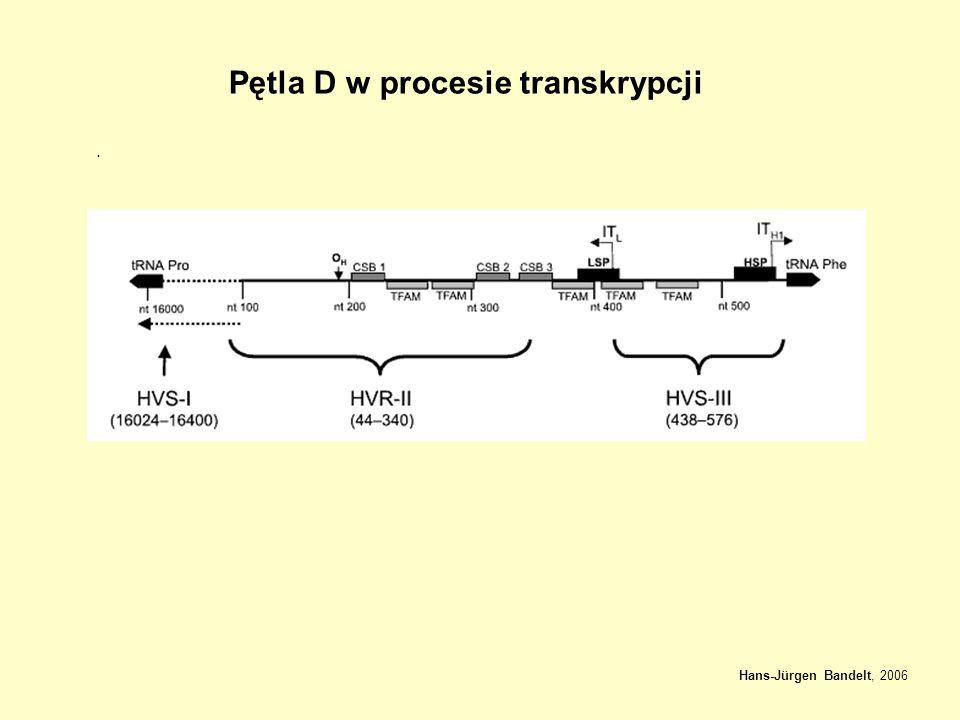 Hans-Jürgen Bandelt, 2006 Pętla D w procesie transkrypcji.