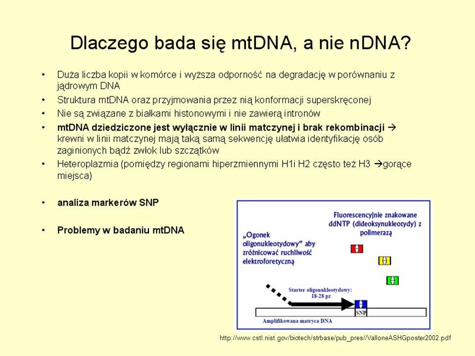 Podstawowe informacje o mtDNA występuje w komórce w setkach-tysiącach kopii ( w mitochondrium do 10 kopii) wysoki polimorfizm znacznie wyższe tempo mutacji niż DNA jądrowy 99,9% dziedziczony po matce mało systemów naprawczych mtDNA brak histonów obecności dużej ilości wolnych rodników choroby różne formy i rozmiary różna złożoność mtDNA względna stałość model do badania przodków Science, 1999