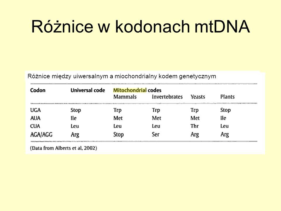 Ubytek mtDNA u zwierząt Redukcja liczby kopii mtDNA (wymagane czynniki jądrowe zaangażowane w replikację oraz zapas dNTP) Redukcja liczby kopii mtDNA do mniejszej niż 30% normalnej zawartości mtDNA Stały zasób dNTP jest potrzebny do replikacji mtDNA Nukleotydy są transportowane albo z cytozolu albo wynikają z drogi mitochondrialnego odzysku.