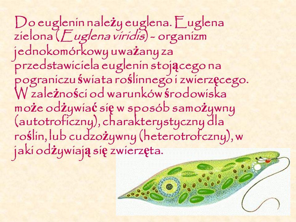 Do euglenin nale ż y euglena. Euglena zielona (Euglena viridis) - organizm jednokomórkowy uwa ż any za przedstawiciela euglenin stoj ą cego na pograni