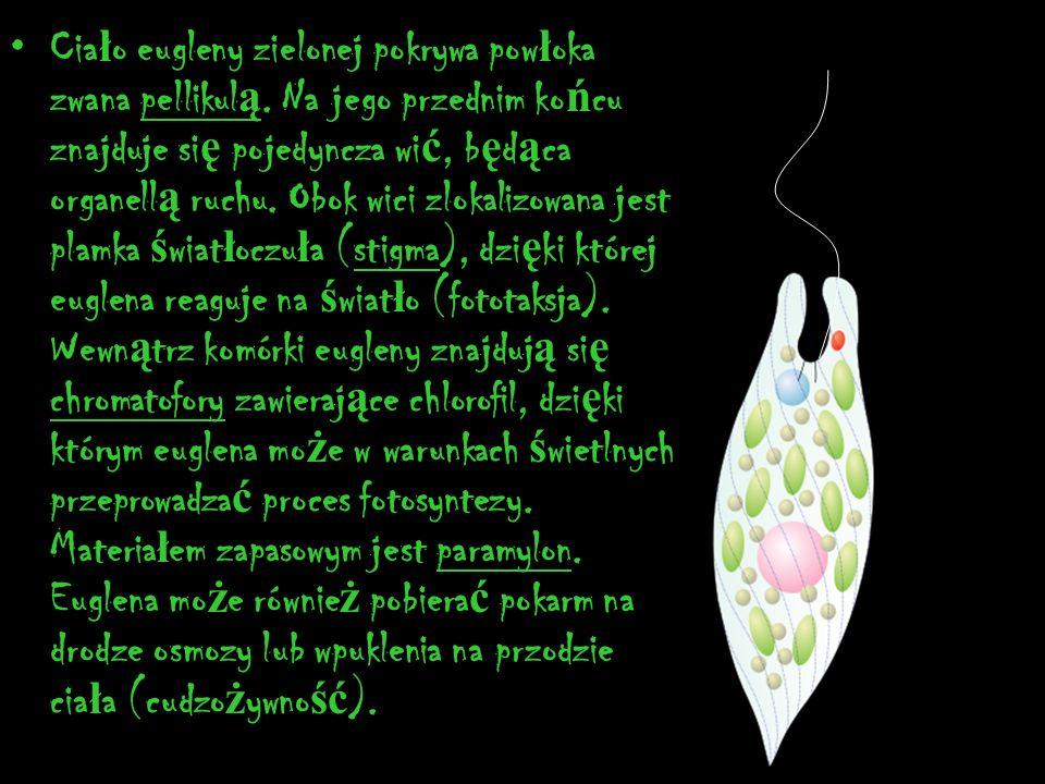 Cia ł o eugleny zielonej pokrywa pow ł oka zwana pellikul ą. Na jego przednim ko ń cu znajduje si ę pojedyncza wi ć, b ę d ą ca organell ą ruchu. Obok