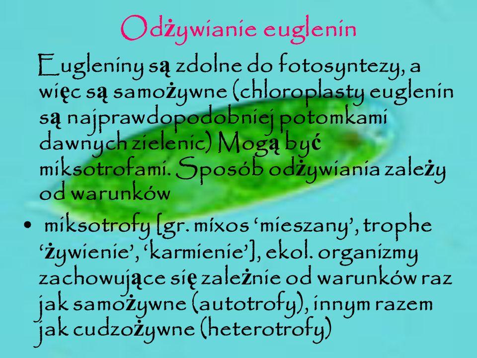 Od ż ywianie euglenin Eugleniny s ą zdolne do fotosyntezy, a wi ę c s ą samo ż ywne (chloroplasty euglenin s ą najprawdopodobniej potomkami dawnych zi