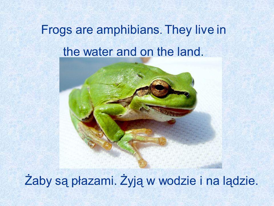 Frogs are amphibians. They live in the water and on the land. Żaby są płazami. Żyją w wodzie i na lądzie.
