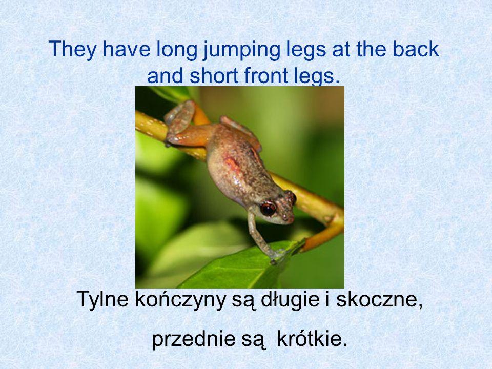 They have long jumping legs at the back and short front legs. Tylne kończyny są długie i skoczne, przednie są krótkie.