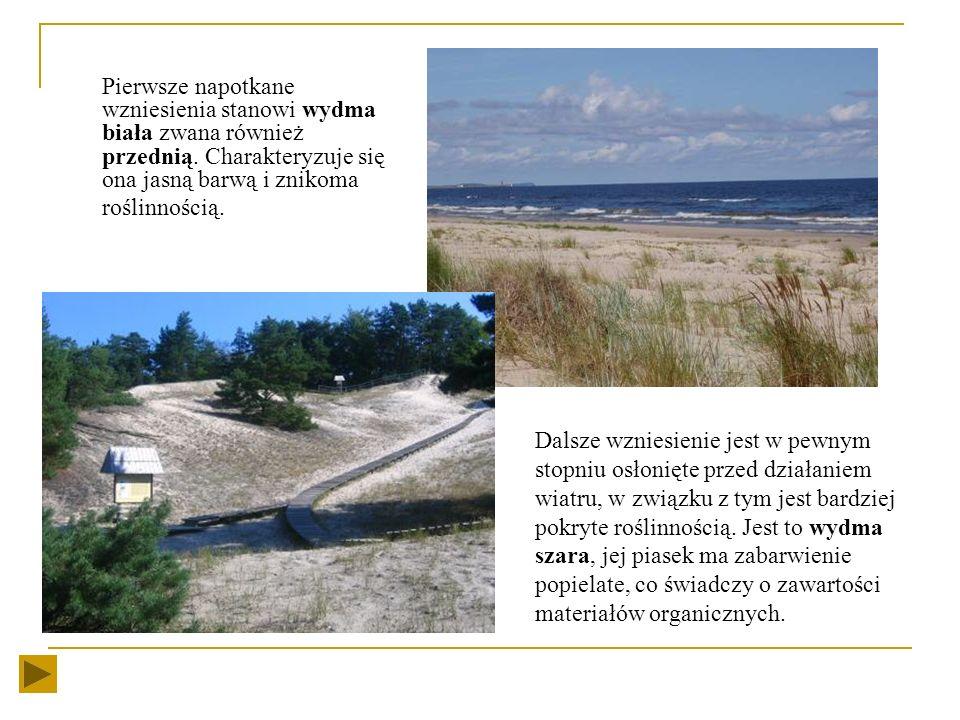 brzeg morski typu wydmowego Piaszczysty brzeg morski typu wydmowego stanowi blisko 2/3 długości polskiego wybrzeża. Wybrzeże wydmowe zaczęło tworzyć s