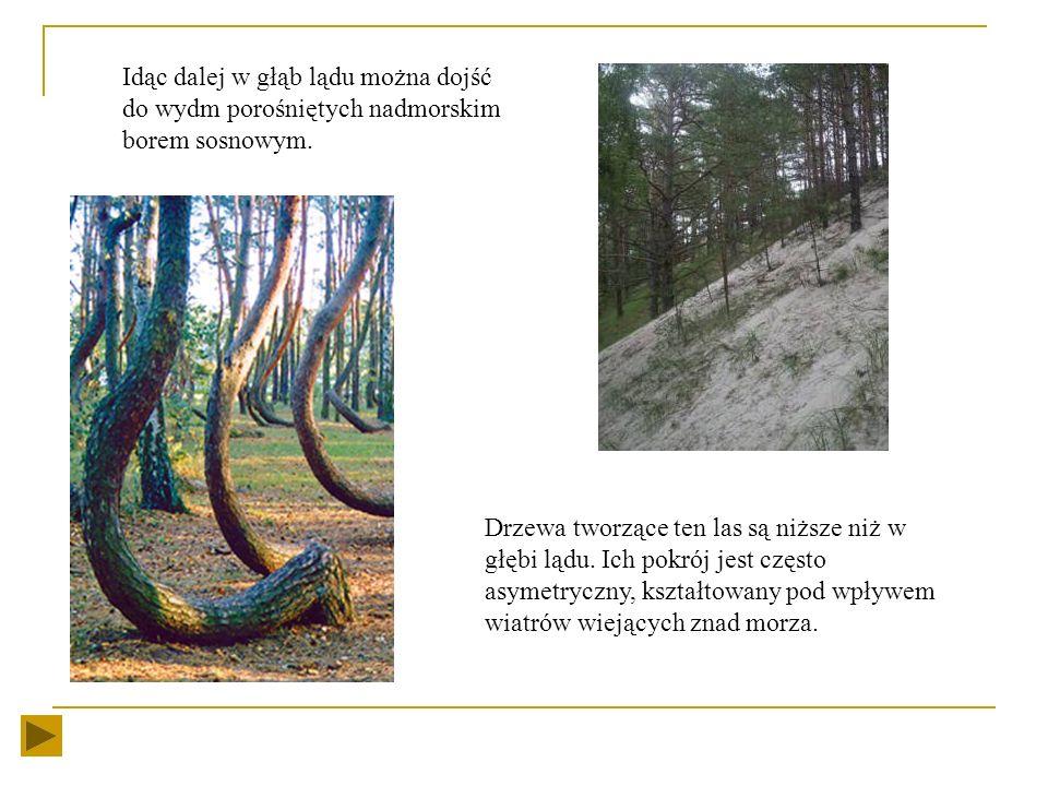 Pierwsze napotkane wzniesienia stanowi wydma biała zwana również przednią. Charakteryzuje się ona jasną barwą i znikoma roślinnością. Dalsze wzniesien