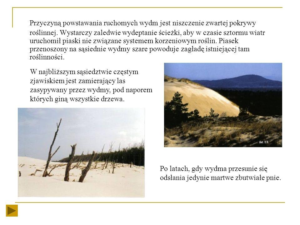 Działalność wiatru wydm Podstawową rolę w procesie tworzenia wybrzeża wydmowego odgrywa wiatr. Na polskim wybrzeżu wieją przeważnie wiatry NW i W a wi