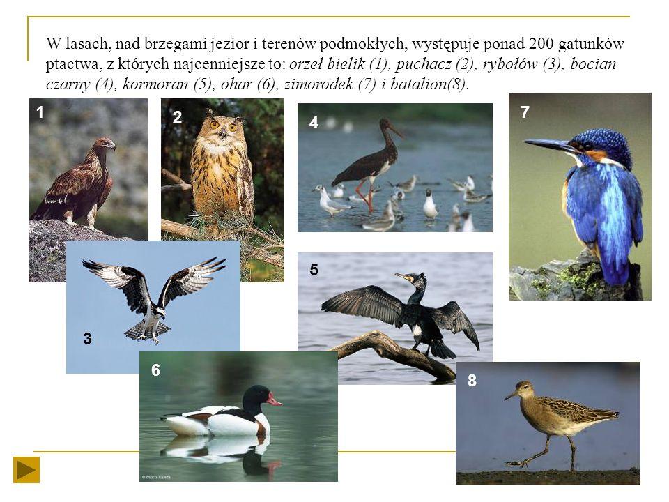 Zwierzęta ptaki Nad brzegiem morza często spotkamy żerujące ptaki: Mewa śmieszka Mewa srebrzysta Mewa szara Kaczka krzyżówka