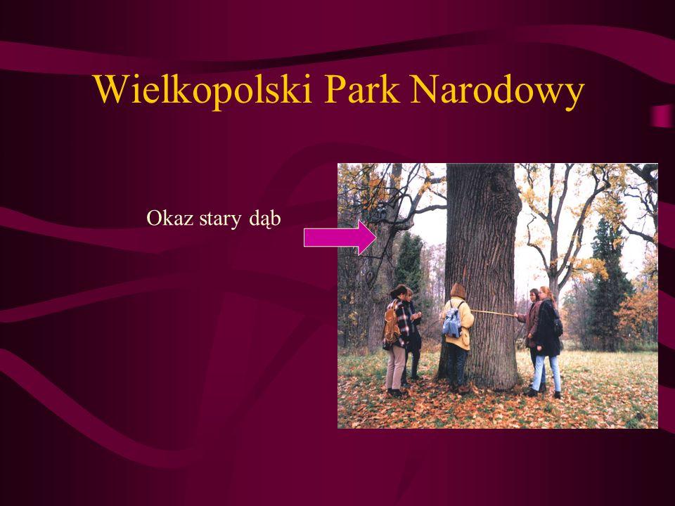 Wielkopolski Park Narodowy Okaz stary dąb