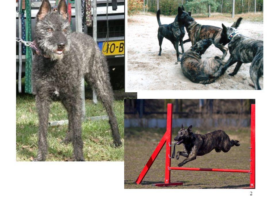 23 Wrażliwe, wymagają dużo ruchu i angażujących fizycznie i psychicznie urozmaiconych zajęć, kochają aportowanie, wodę, zabawę, szkolenie Inteligentne, pojętne, szybko się uczą Wszechstronnie użytkowe Aktywne, potrzebują zajęć, pracowite Chętnie współpracują z człowiekiem Przyjazne wobec zwierząt, ludzi, dogadują się z dziećmi Ciekawskie, nie znoszą samotności Odporne, nie do zdarcia Łatwe w prowadzeniu Wymagają starannej socjalizacji Skłonność do dominacji, lękliwości i agresji Potrzebują pozytywnego motywowania i różnorodności Szybko się nudzą Dysplazja