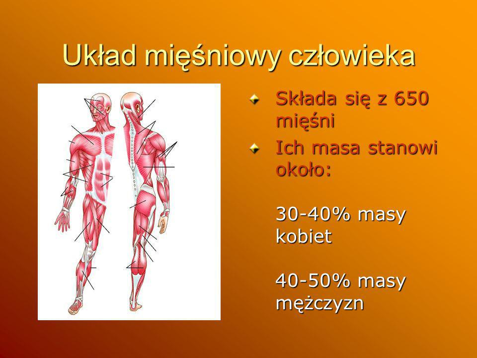 Układ mięśniowy człowieka Składa się z 650 mięśni Ich masa stanowi około: 30-40% masy kobiet 40-50% masy mężczyzn