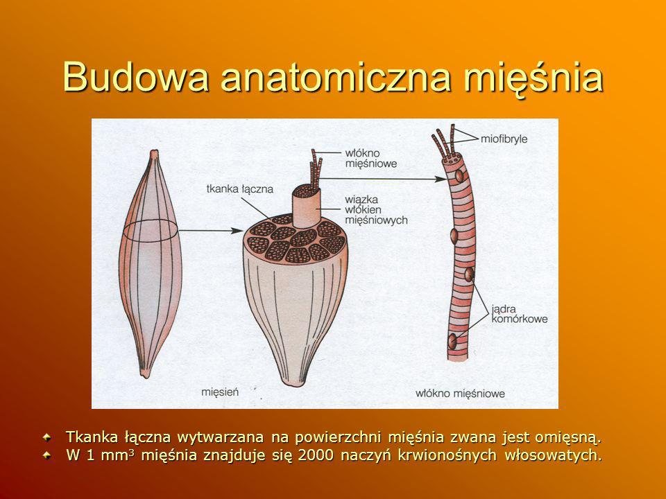Budowa anatomiczna mięśnia Tkanka łączna wytwarzana na powierzchni mięśnia zwana jest omięsną. W 1 mm 3 mięśnia znajduje się 2000 naczyń krwionośnych