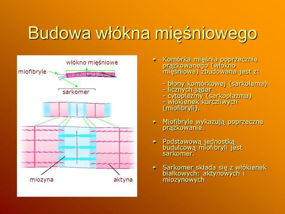 Budowa włókna mięśniowego Komórka mięśnia poprzecznie prążkowanego (włókno mięśniowe) zbudowana jest z: - błony komórkowej (sarkolema) - licznych jąde