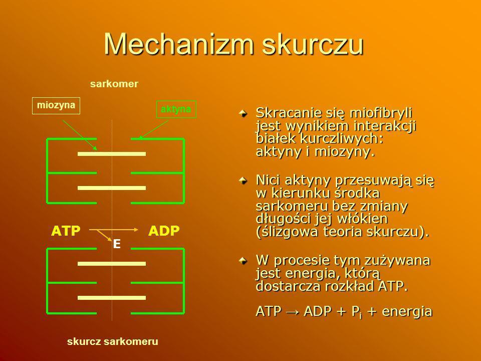 Mechanizm skurczu Skracanie się miofibryli jest wynikiem interakcji białek kurczliwych: aktyny i miozyny. Nici aktyny przesuwają się w kierunku środka