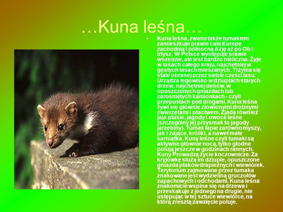 …Kuna leśna… Kuna leśna, zwana także tumakiem zamieszkuje prawie całą Europę zachodnią i północną Azję aż po Ob i Irtysz. W Polsce występuje prawie ws