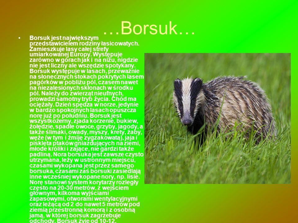 …Borsuk… Borsuk jest największym przedstawicielem rodziny łasicowatych. Zamieszkuje lasy całej strefy umiarkowanej Europy. Występuje zarówno w górach