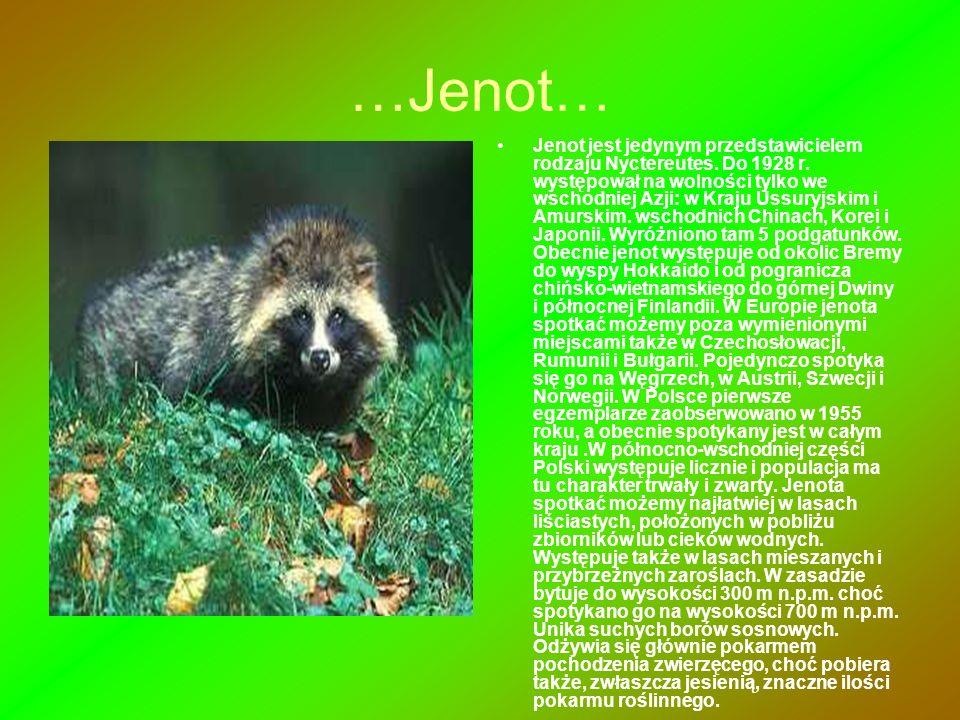 …Jenot… Jenot jest jedynym przedstawicielem rodzaju Nyctereutes. Do 1928 r. występował na wolności tylko we wschodniej Azji: w Kraju Ussuryjskim i Amu