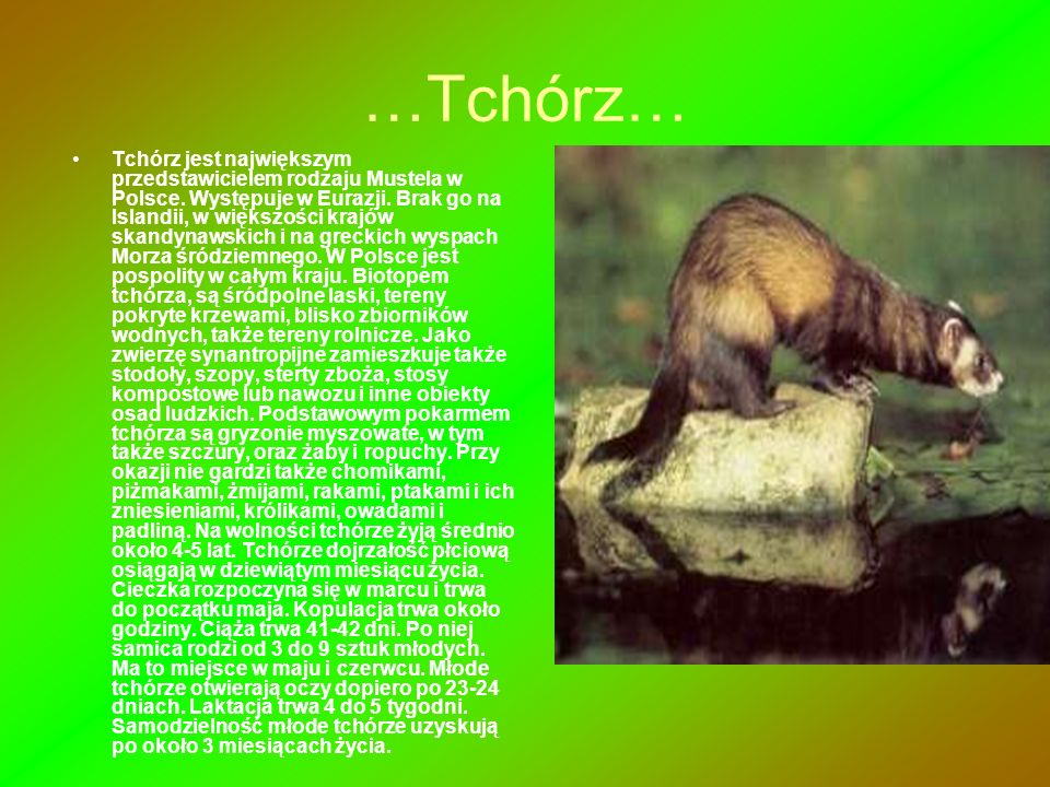 …Tchórz… Tchórz jest największym przedstawicielem rodzaju Mustela w Polsce. Występuje w Eurazji. Brak go na Islandii, w większości krajów skandynawski