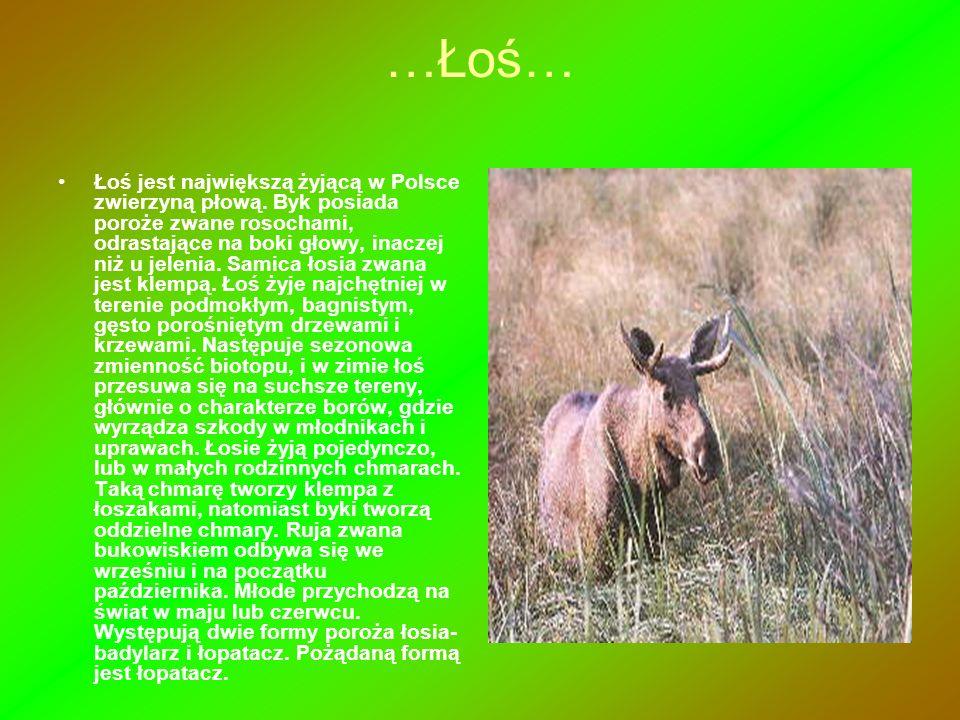 …Łoś… Łoś jest największą żyjącą w Polsce zwierzyną płową. Byk posiada poroże zwane rosochami, odrastające na boki głowy, inaczej niż u jelenia. Samic