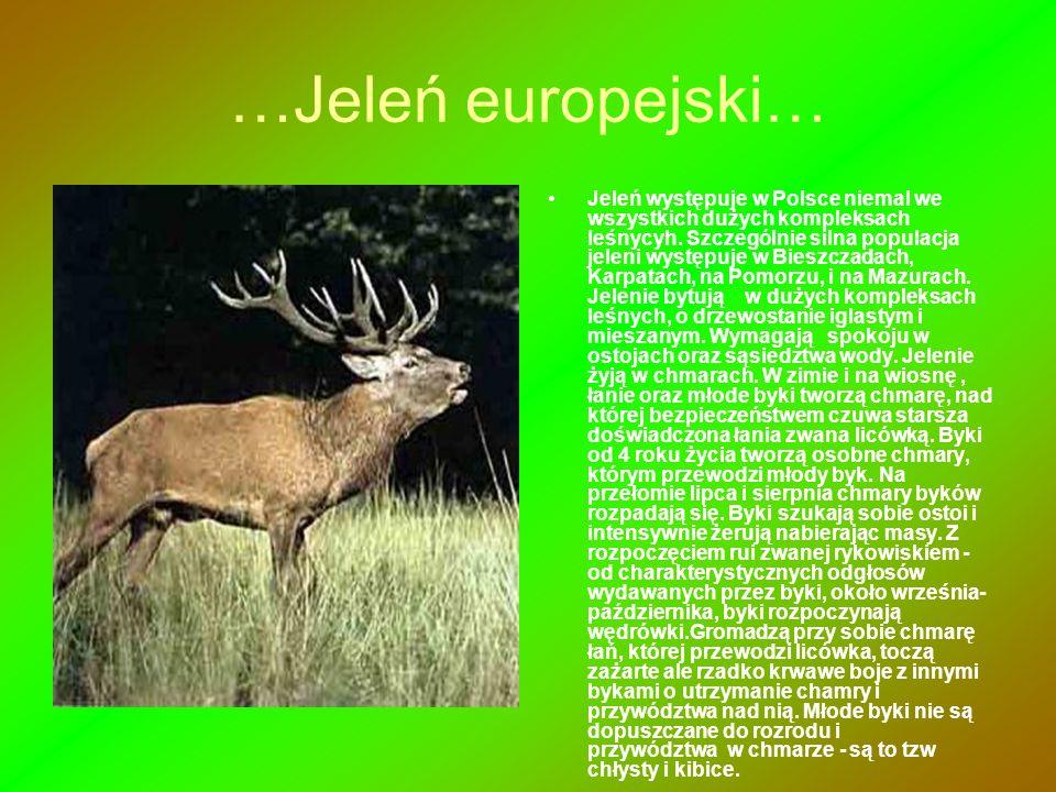 …Jeleń europejski… Jeleń występuje w Polsce niemal we wszystkich dużych kompleksach leśnycyh. Szczególnie silna populacja jeleni występuje w Bieszczad