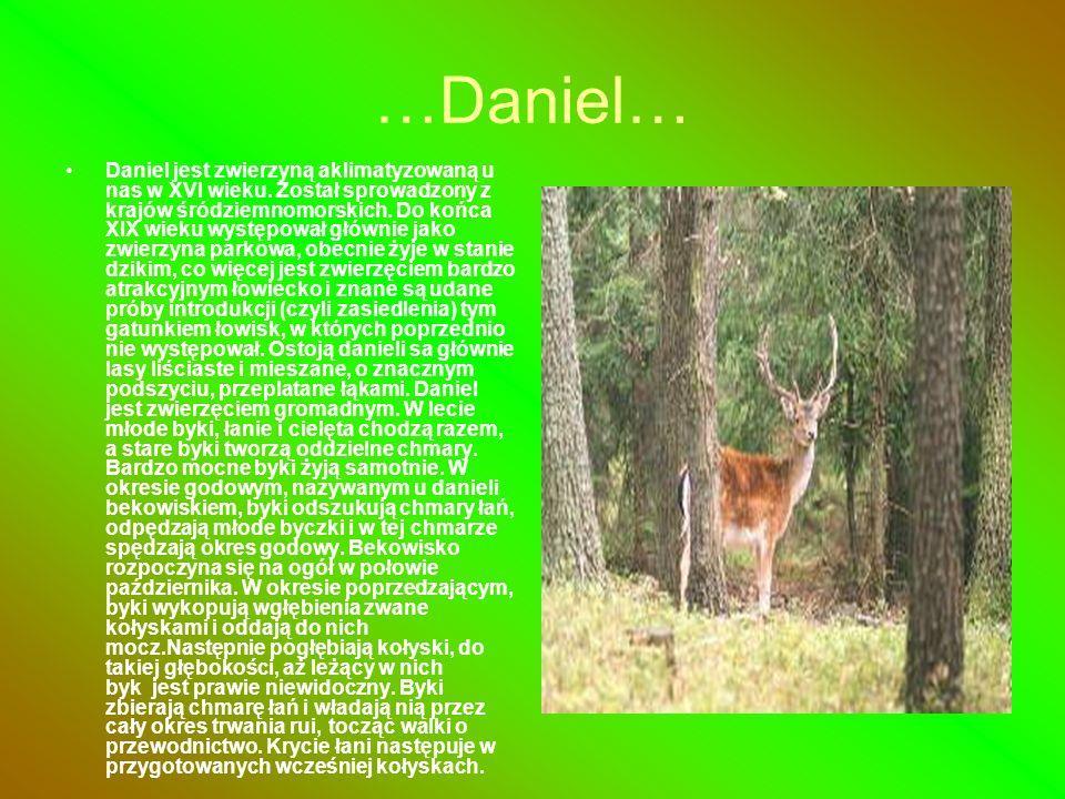 …Daniel… Daniel jest zwierzyną aklimatyzowaną u nas w XVI wieku. Został sprowadzony z krajów śródziemnomorskich. Do końca XIX wieku występował głównie