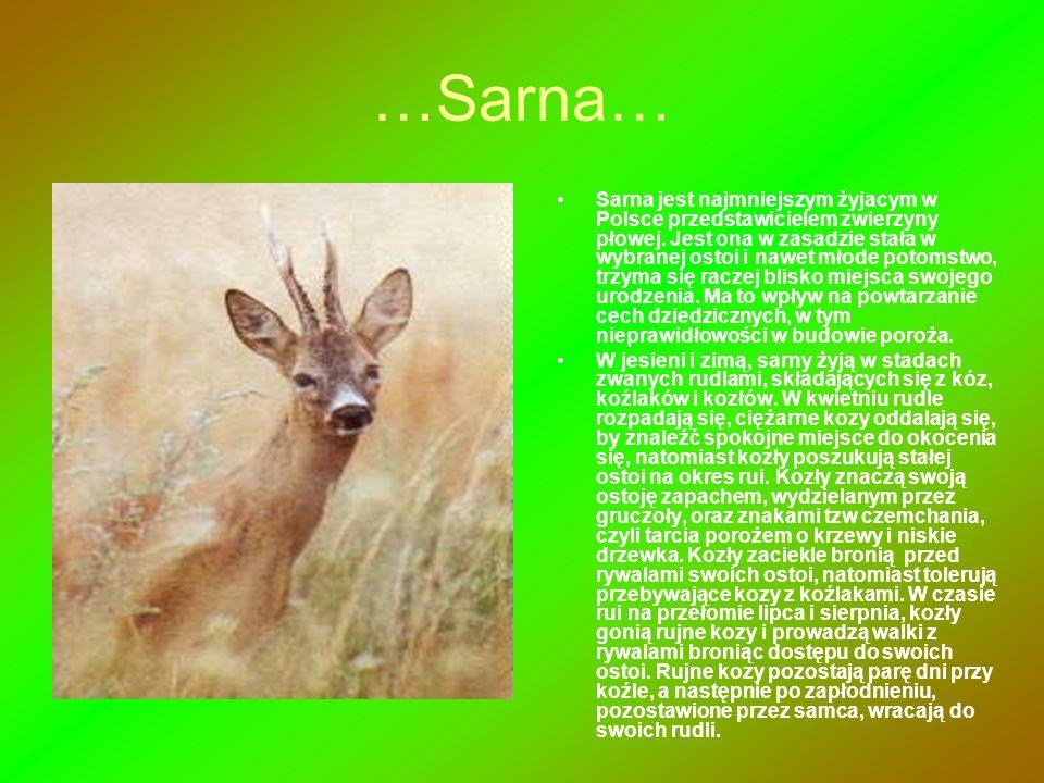 …Sarna… Sarna jest najmniejszym żyjacym w Polsce przedstawicielem zwierzyny płowej. Jest ona w zasadzie stała w wybranej ostoi i nawet młode potomstwo