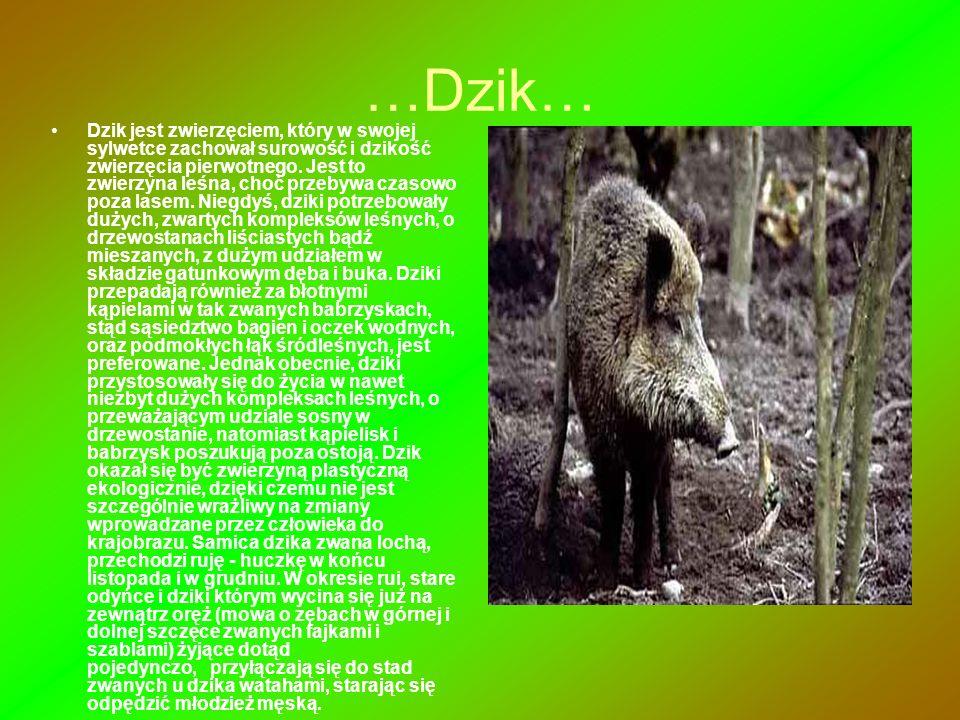 …Dzik… Dzik jest zwierzęciem, który w swojej sylwetce zachował surowość i dzikość zwierzęcia pierwotnego. Jest to zwierzyna leśna, choć przebywa czaso