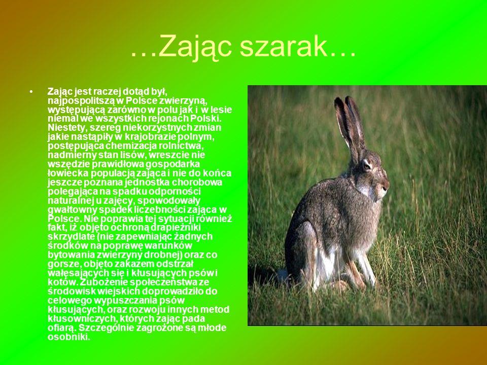 …Zając szarak… Zając jest raczej dotąd był, najpospolitszą w Polsce zwierzyną, występującą zarówno w polu jak i w lesie niemal we wszystkich rejonach