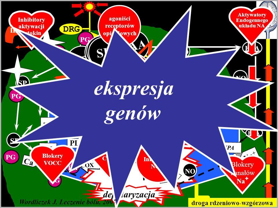DRG Ośrodkowa sensytyzacja A C SP EAA mGluR NK AMPA NMDA ekspresja genów mGluR NK AMPA NMDA Wordliczek J.