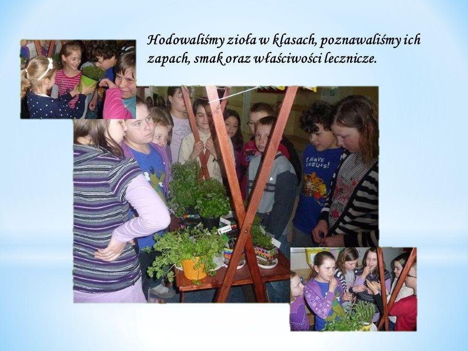Hodowaliśmy zioła w klasach, poznawaliśmy ich zapach, smak oraz właściwości lecznicze.