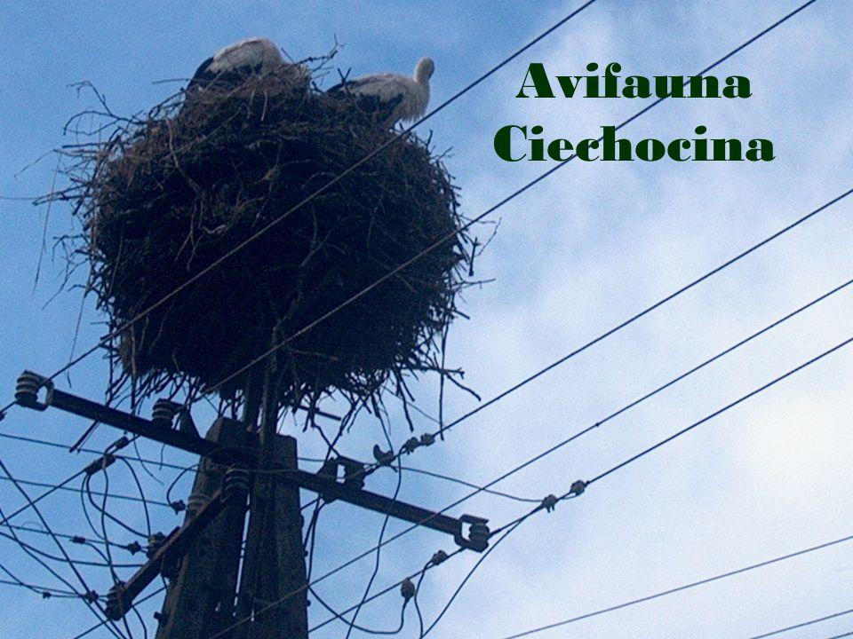 Fauna Ciechocina
