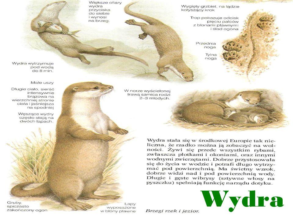 O zwierzaczkach... Ważne dla Europy gatunki zwierząt: wydra nocek łydkowłosy nocek duży bóbr europejski błotniak stawowy bąk