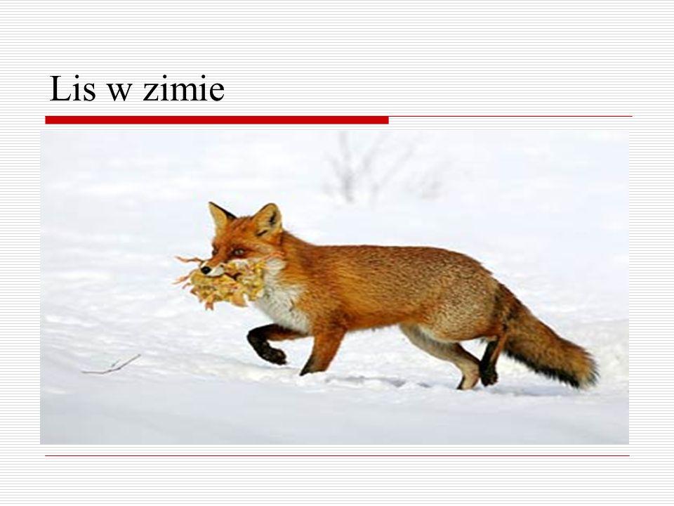 Lis w zimie