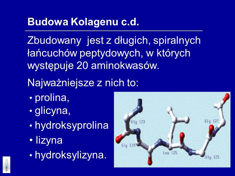 Budowa Kolagenu c.d. Zbudowany jest z długich, spiralnych łańcuchów peptydowych, w których występuje 20 aminokwasów. prolina, glicyna, hydroksyprolina