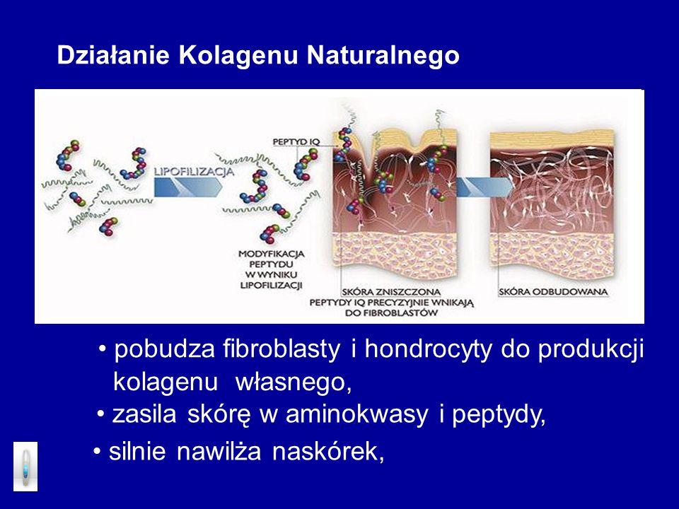 Działanie Kolagenu Naturalnego pobudza fibroblasty i hondrocyty do produkcji zasila skórę w aminokwasy i peptydy, silnie nawilża naskórek, kolagenu wł