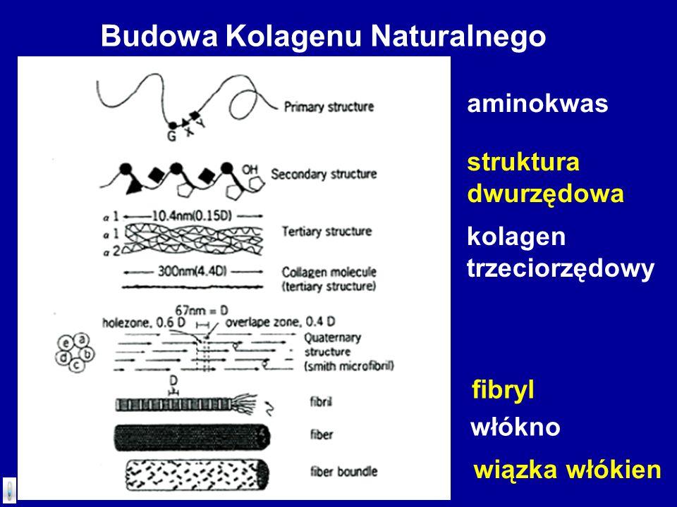 Budowa Kolagenu Naturalnego aminokwas struktura dwurzędowa kolagen trzeciorzędowy fibryl włókno wiązka włókien