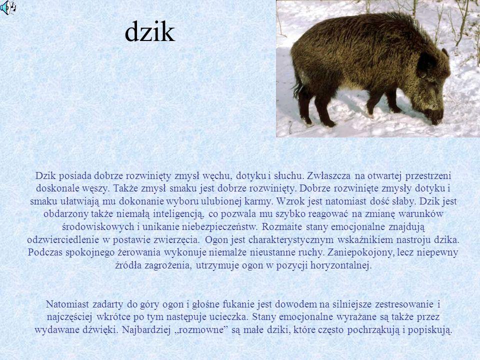sarna Sarna (Capreolus capreolus) - ssak z rodziny jeleniowatych, o smukłym ciele, wysokich nogach (cewkach), sierści czerwono-brązowej w lecie, siwo-