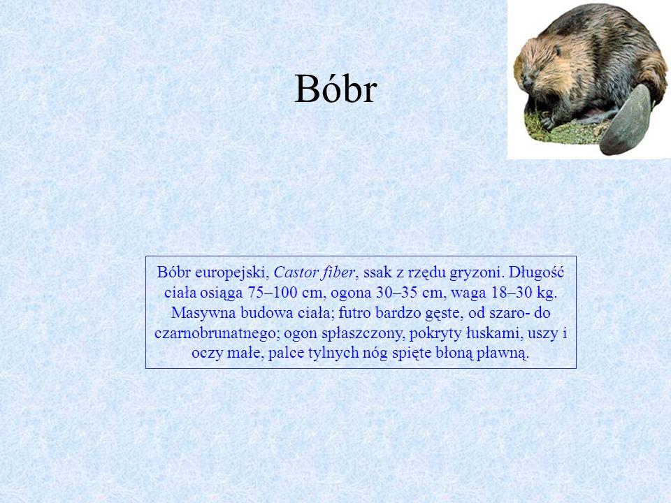 kuna Kuna leśna jest wielkości kota domowego, ale ma tułów silnie wydłużony, głowę wąską o wyciągniętym pysku, oczy stosunkowo duże. Nos ma czarny lub