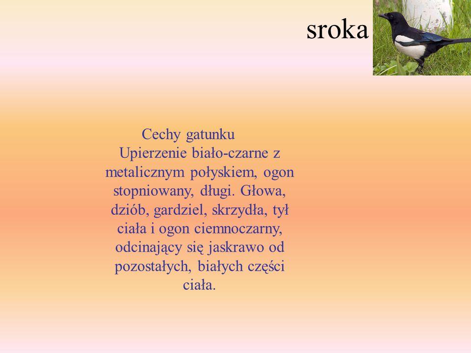 Sójka Cechy gatunku Jeden z ładniej ubarwionych ptaków w Polsce. Na skrzydle charakterystyczne niebieskie lusterko, usytuowane na nadlotkach. Ogólny k