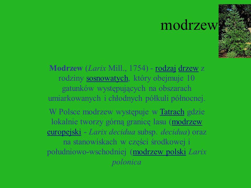 Świerk W Polsce występuje świerk pospolity (Picea abies), głównie w górach na południu kraju oraz w północono-wschodniej części kraju. W górach bory ś