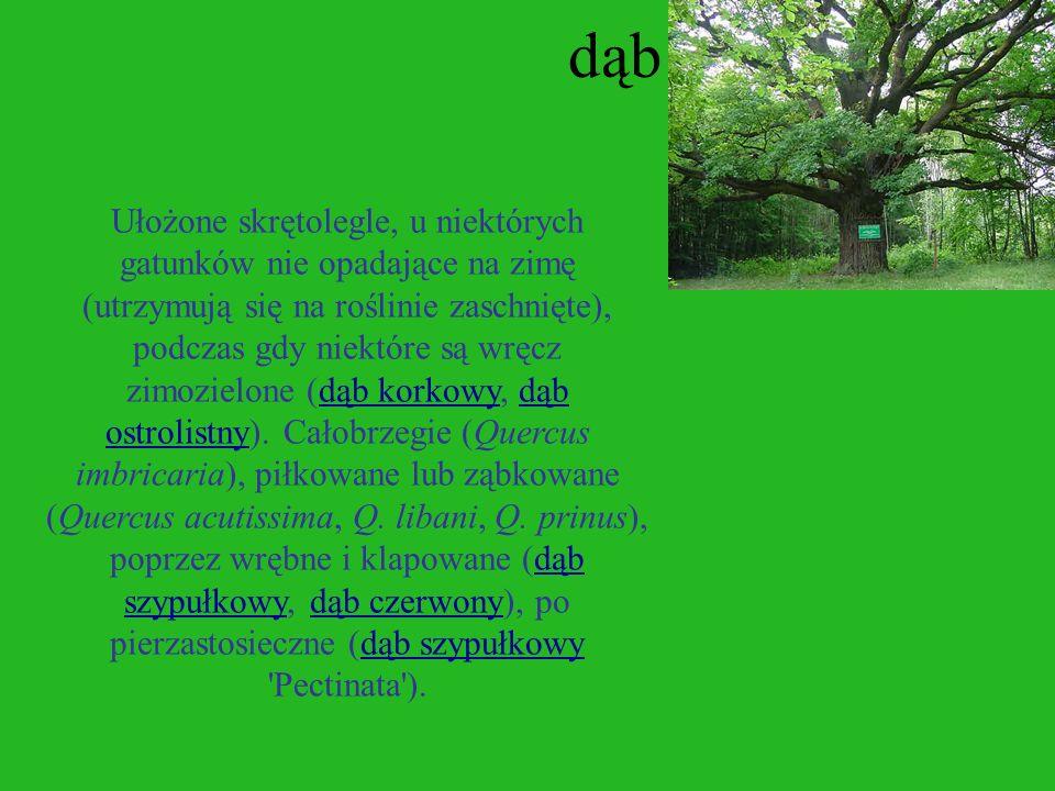 buk Buk (Fagus Sp.Pl.2 1753 ) - rodzaj drzew z rodziny bukowatych obejmujący 40 gatunków. Występuje głównie w strefie umiarkowanej na półkuli północne