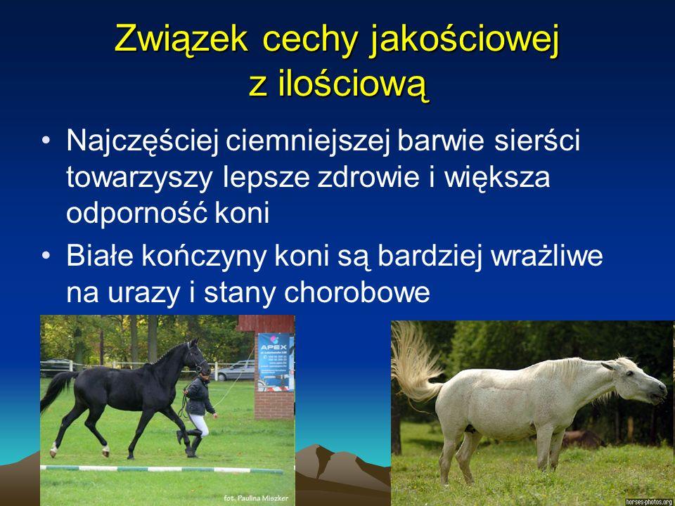 12 Związek cechy jakościowej z ilościową Najczęściej ciemniejszej barwie sierści towarzyszy lepsze zdrowie i większa odporność koni Białe kończyny kon