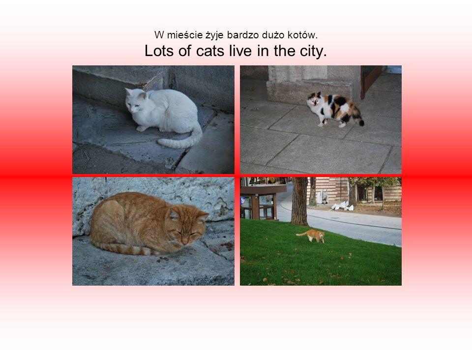 W mieście żyje bardzo dużo kotów. Lots of cats live in the city.