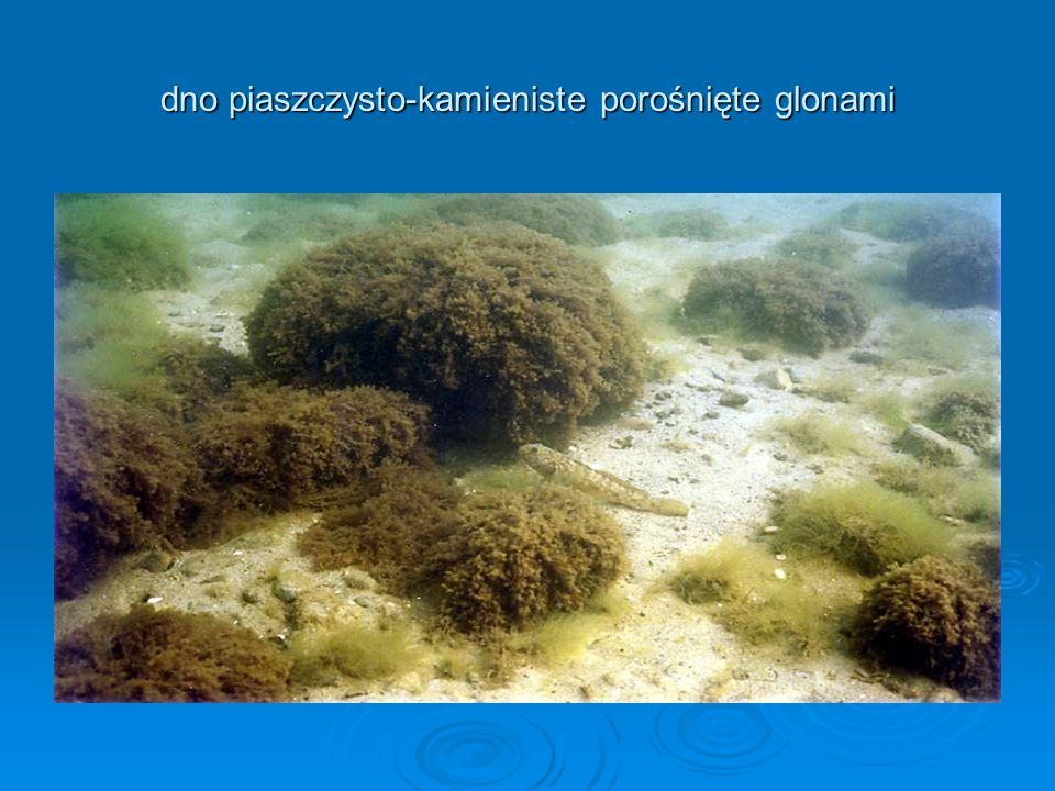 dno piaszczysto-kamieniste porośnięte glonami