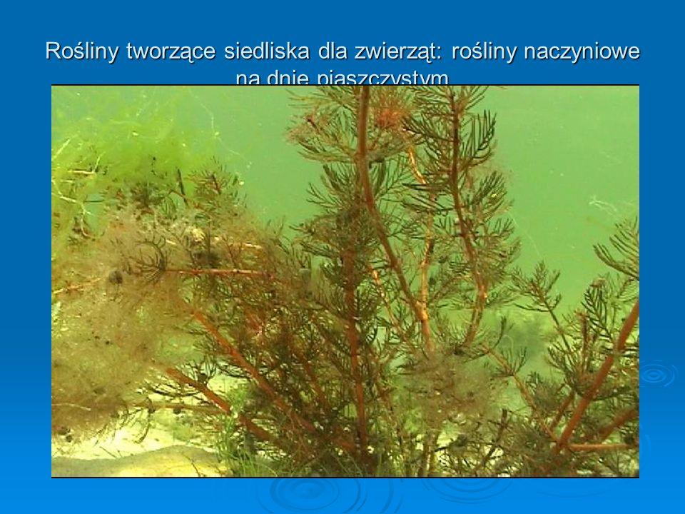Rośliny tworzące siedliska dla zwierząt: rośliny naczyniowe na dnie piaszczystym