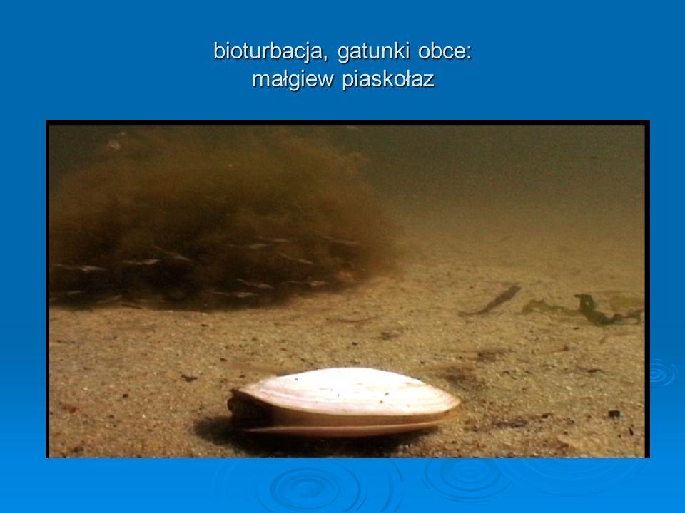 bioturbacja, gatunki obce: małgiew piaskołaz