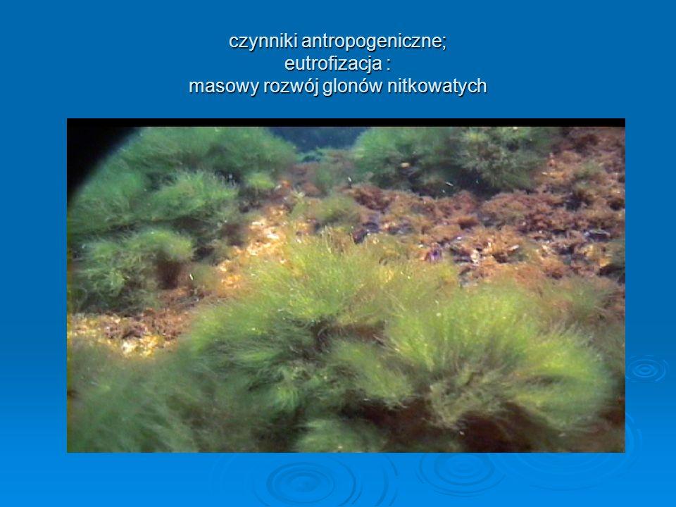 czynniki antropogeniczne; eutrofizacja : masowy rozwój glonów nitkowatych